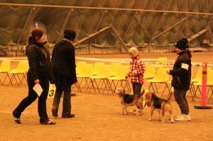Näin hienosti poseeraus sujui Lapsi & Beagle kehässä!